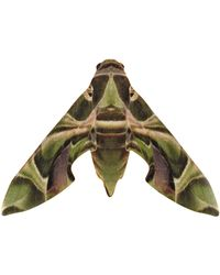Tatty Devine | Tatty Devine Hawk Moth Brooch | Lyst